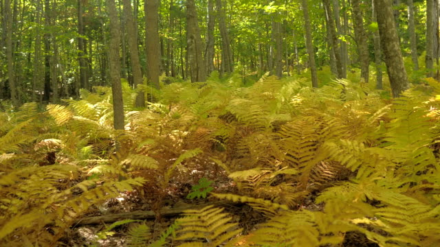 CLOSE UP Lush fern plants turning yellow covering forest floor on sunny fall day video