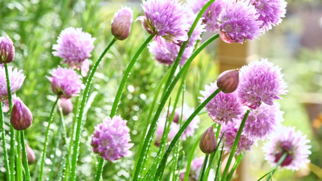 lush flowering chives, early morning - alliacee video stock e b–roll