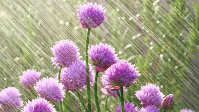 緑豊かな開花チャイブ、早朝 - 花壇点の映像素材/bロール