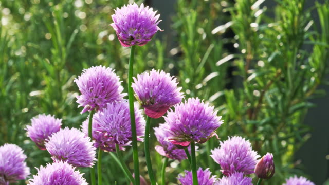 Lush flowering chives, early morning
