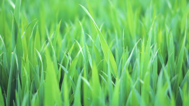 lush green background of grass field close up on sunny springtime. natural background. slow motion footage. shot with racking focus, focus pull. - rack focus video stock e b–roll