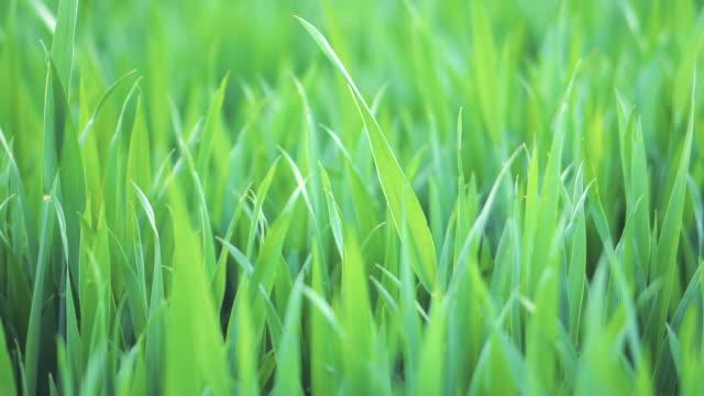 무성 한 녹색 배경 잔디 필드 화창한 봄에 닫습니다. 자연 배경입니다. 슬로우 모션 영상. 초점을 고정으로 촬영, 초점을 당겨. - 초점 이동 스톡 비디오 및 b-롤 화면