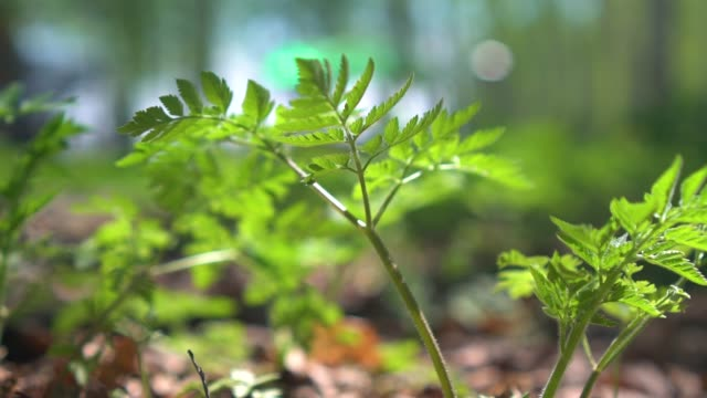 Lush green fern sways in the wind blowing through the serene forest. Bright spring sun rays shine on a fern plant swaying deep