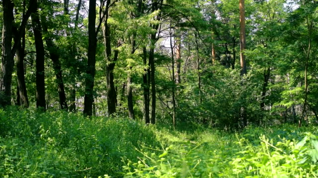 Lush green mixed forest in summer video