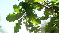 istock Lush green oak foliage in sunlight 1319595851