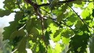istock Lush green oak foliage in sunlight 1320270971