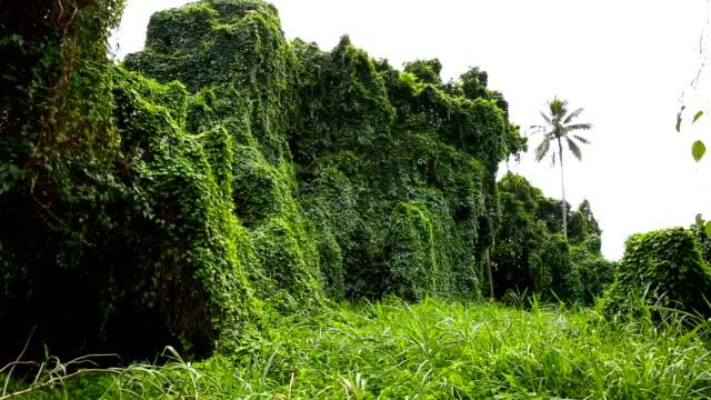 Lush Green Tropical Rainforest Flora in Oahu Hawaii video