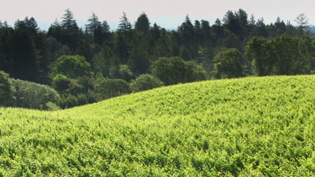 lush vineyards in northern california - drone shot - paesaggio collinare video stock e b–roll