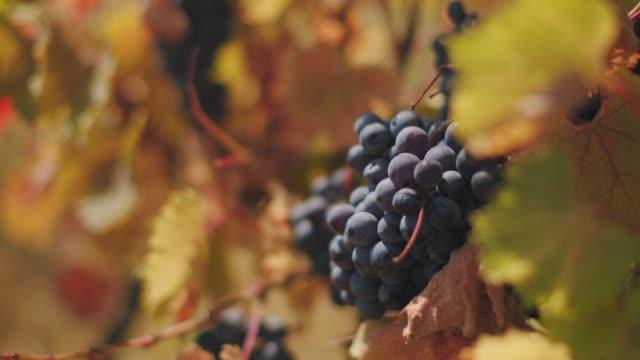 vídeos de stock, filmes e b-roll de aglomerados de uvas de vinho exuberante pendurados na videira - vinho