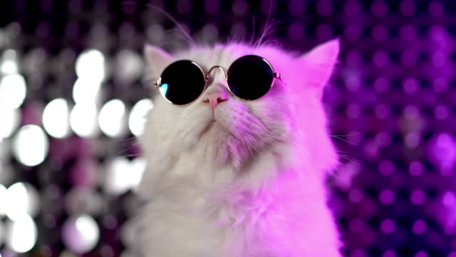 Video Luxurious domestic kitty in glasses poses on purple background.Portrait of white furry cat in fashion eyeglasses. Studio neon light footage.