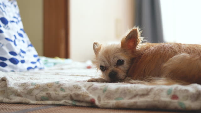 a lying dog. - viziarsi video stock e b–roll