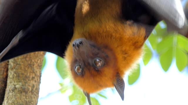 Lyle's flying fox (Pteropus lylei) on a tree. video