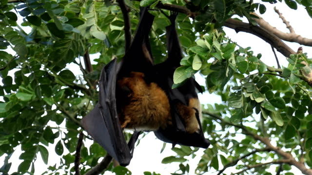 Lyle's flying fox Lyle's flying fox (Pteropus lylei) hanging upside down on tree in nature count dracula stock videos & royalty-free footage