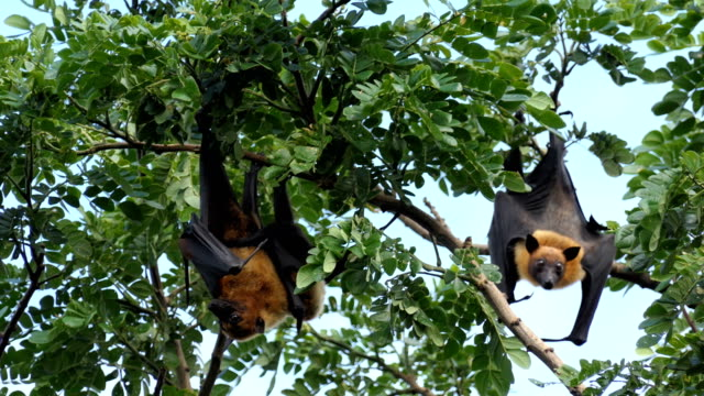 Lyle's flying fox – Video