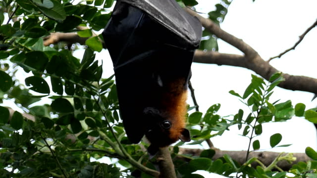 Lyle's flying fox video
