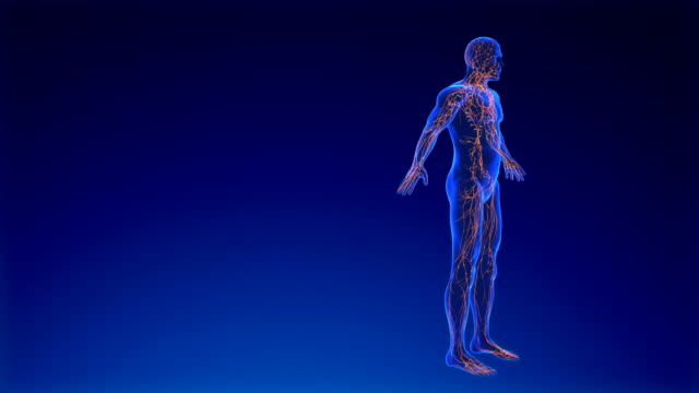 Lymphatic System Lymphatic System Animation blood vessel stock videos & royalty-free footage