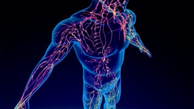 vídeos de stock, filmes e b-roll de sistema linfático - estrutura física