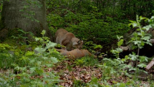 Lynx feeds a deer
