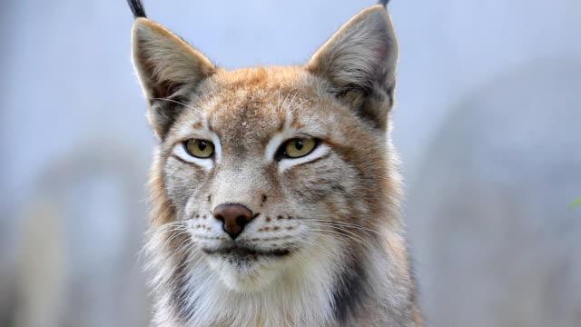 vídeos de stock, filmes e b-roll de lynx in the fog - felino