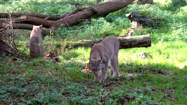 Lynx, lynxes, Luchs, searching meat, hungry, 4K video