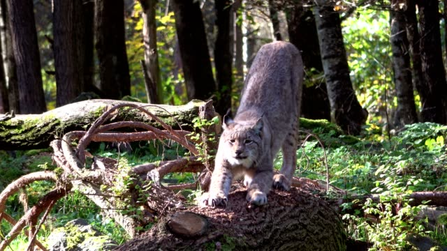 Lynx, lynxes, stretching on a tree trunk, Luchs, Wildpark, 4K video