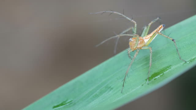 lynx spider on the leaf video