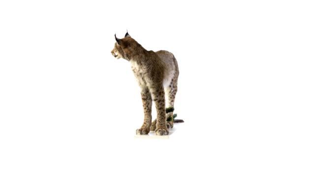 Lynx video