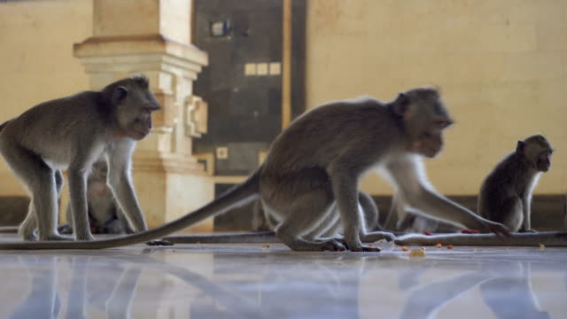 Macaque family monkeys feeding in a temple video