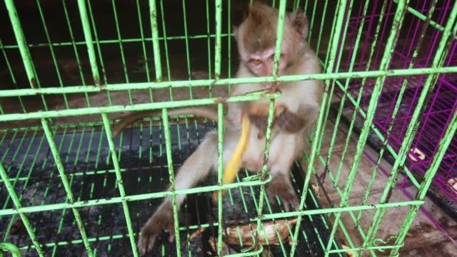 makaken in gefangenschaft für impfstofftest - käfig stock-videos und b-roll-filmmaterial