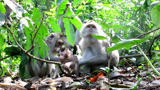 Macaque Monkey (Macaca fascicularis) Family Grooming video