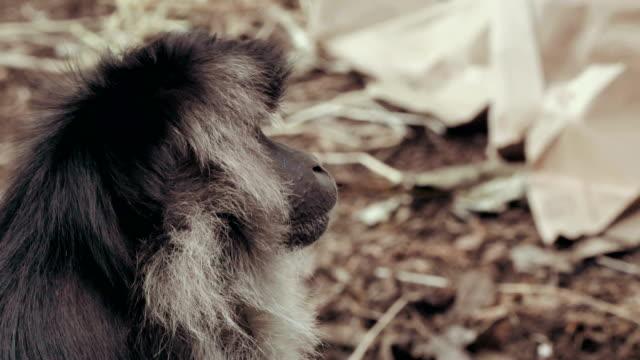 makak apa i 4k - 4 kilometer bildbanksvideor och videomaterial från bakom kulisserna