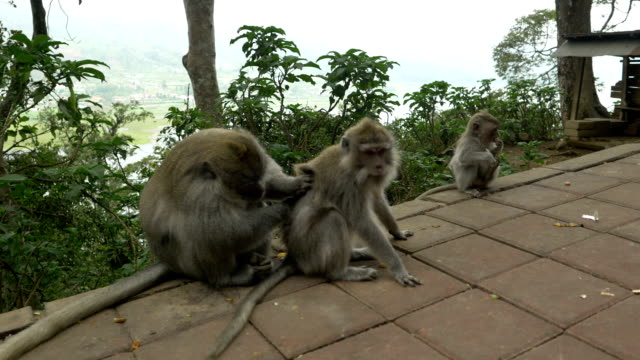 stockvideo's en b-roll-footage met ls macaque monkeys mating - mensaap