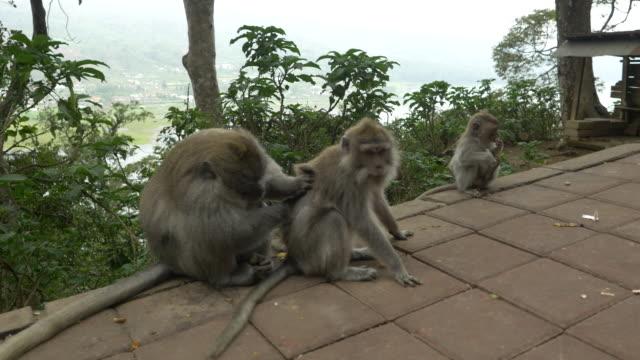LS Macaca macacos acasalamento - vídeo