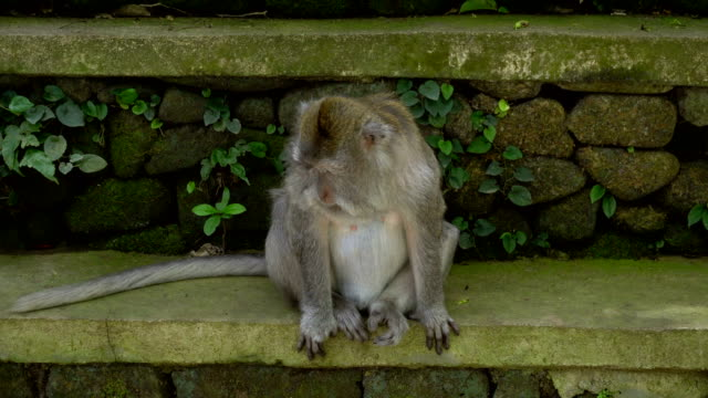 Macaque resting in a park video