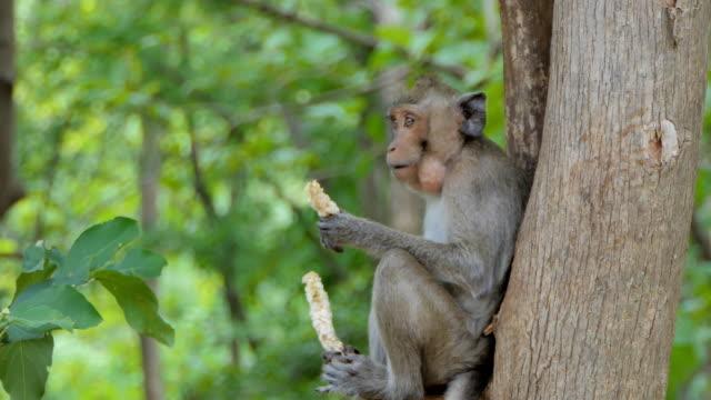 doğada makak rhesus maymun - makak maymunu stok videoları ve detay görüntü çekimi