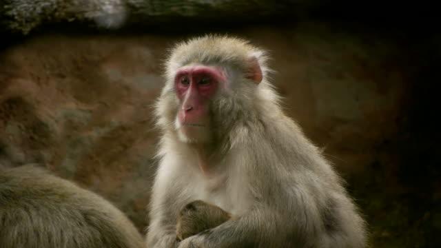hd - macaque - djurfamilj bildbanksvideor och videomaterial från bakom kulisserna
