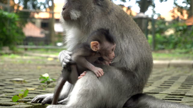 Macaque with a baby resting in a park video