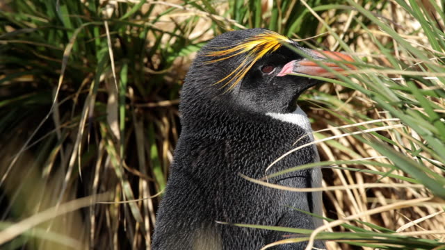 Macaroni Penguin Close Up Close Up of a Macaroni Penguin sitting in tall grass. Shot in the wild on South Georgia Island. south georgia and the south sandwich islands stock videos & royalty-free footage