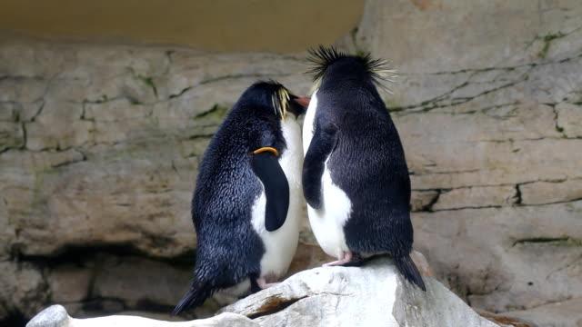 Macaroni penguin video