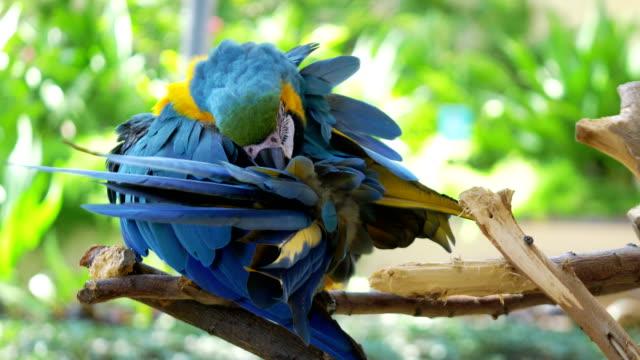 macaw niebieski i żółty papuga czyszczenia piór na gałęzi w zwolnionym tempie 4k 60fps - ekoturystyka filmów i materiałów b-roll