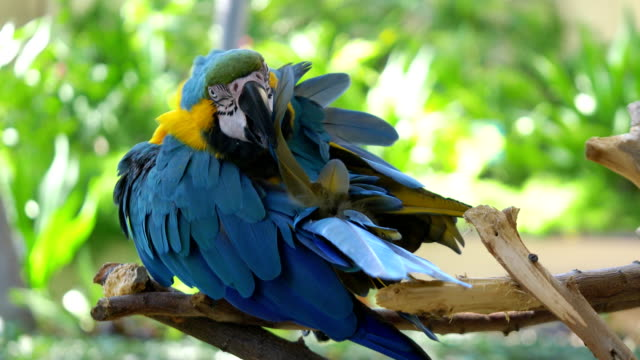 Macaw blue and yellow parrot cleaning feathers on the branch in 4K video