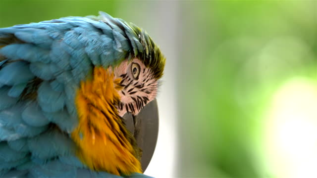 macaw blue and yellow parrot in 4k slow motion - wildlife travel stock videos & royalty-free footage