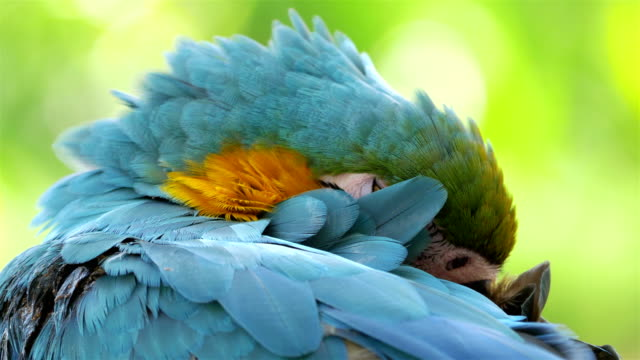Macaw blue and yellow parrot sleeping on the branch in 4K video
