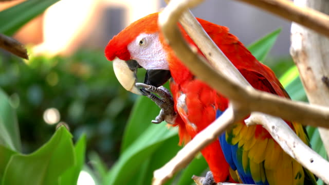 Macaw Blue Golded parrot in 4K Slow motion video