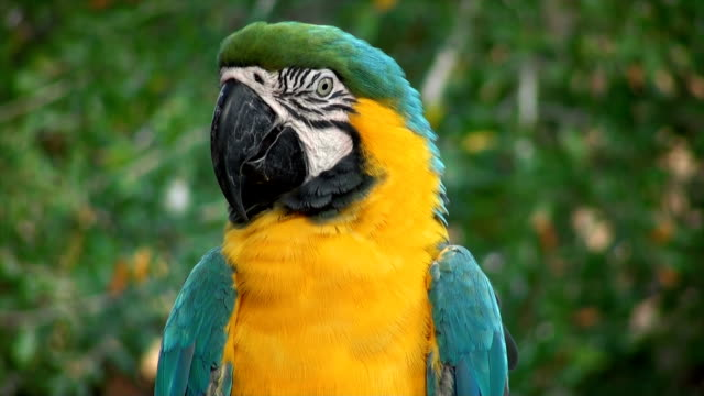 Macaw Blue Golded video