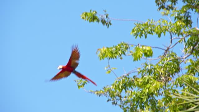 LS Macaw flying on a tree video