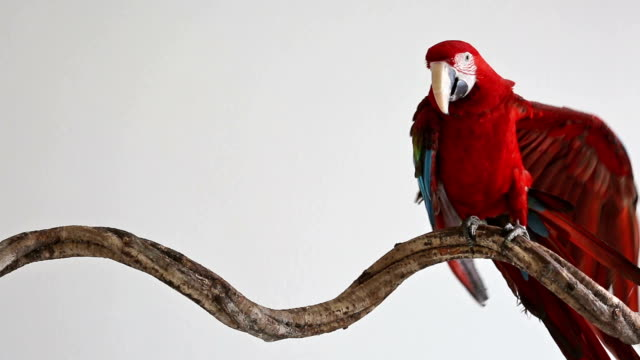 macaw on the branch video