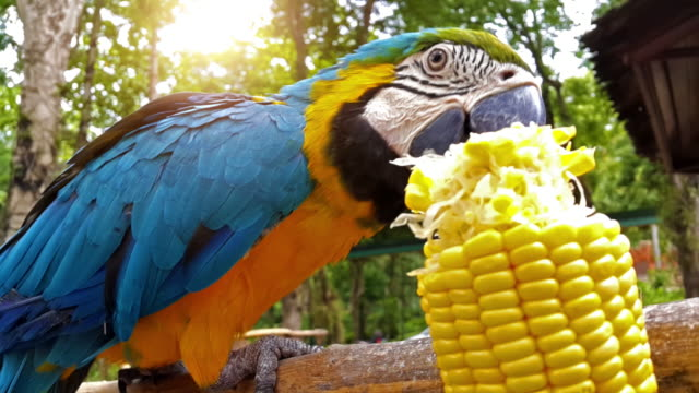 Macaw parrot eating corn video