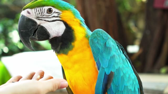 Macaw parrot is fed by humans with beans or vegetables in the existing garden