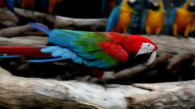 stockvideo's en b-roll-footage met macaw walking - snavel